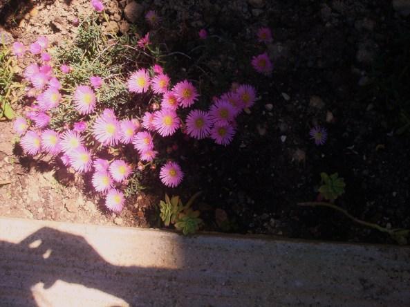 non solo le rose ma anche i fiori grassi sono in fiore , finalmente un po di sole