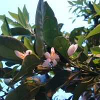 Il mio albero di mandarancio fiorisce di nuovo a Ottobre e normale?